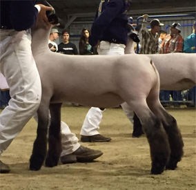 Hagen-VLS Club Lambs • Winners